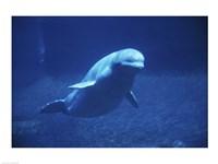 Beluga Whale Underwater Fine-Art Print