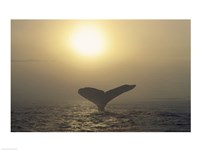 Humpback Whale Tail at Sunset Fine-Art Print