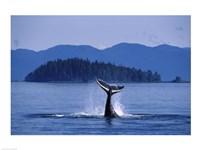 Humpback Whale Diving Fine-Art Print