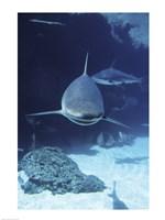 Caribbean Reef Sharks Fine-Art Print