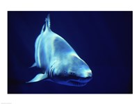 Shark Great White Fine-Art Print