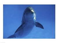 Bottle Nosed Dolphin in Ocean Fine-Art Print