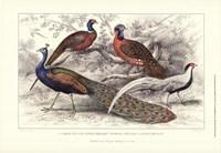 Peacock & Pheasants Fine-Art Print