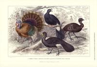 Turkey & Curassows Fine-Art Print