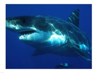 Carcharodon Carcharias Fine-Art Print