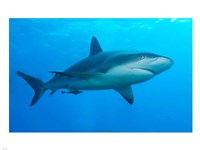 Carribbean Reef Shark Fine-Art Print