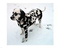 Dalmatian in Snow Fine-Art Print