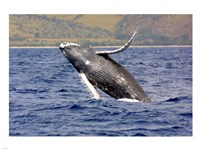 Humpback Whale Leaping Fine-Art Print