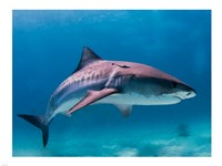 Tiger Shark Fine-Art Print