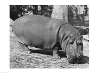 Hippopotamus Black and White Fine-Art Print