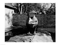 USA, Louisiana, New Orleans, Hippopotamus in zoo yawning Fine-Art Print