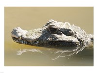 Caiman Displaying Fourth Tooth Fine-Art Print