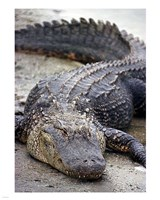 Florida Alligator Fine-Art Print