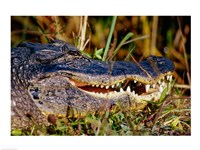 Alligator - close up Fine-Art Print