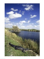 High angle view of an alligator near a river, Everglades National Park, Florida, USA Fine-Art Print