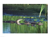 Group of American Alligators in water Fine-Art Print