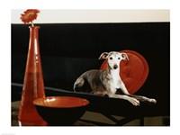 An Italian Greyhound lying on a sofa Fine-Art Print