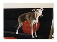 An Italian Greyhound standing on a sofa Fine-Art Print