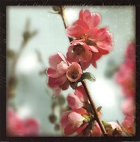 Quince Blossoms III Fine-Art Print