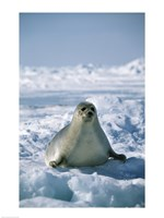 Harp Seal on Ice Fine-Art Print