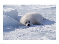 Harp Seal pup lying in snow Fine-Art Print