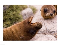 Close-up of two Sea Lions relaxing on rocks, Ecuador Fine-Art Print