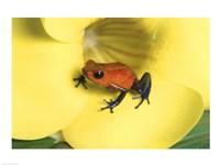 Strawberry Poison Dart Frog Fine-Art Print