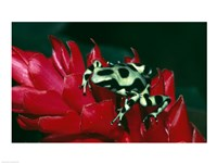 Green and Black Poison Frog Fine-Art Print
