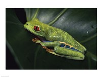 Red-Eyed Tree Frog Fine-Art Print