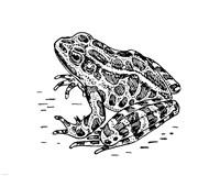 Frog Fine-Art Print