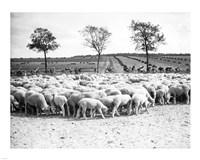 Cyclists passing a herd of sheep, Tour de France 1938 Fine-Art Print