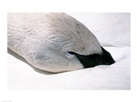 Close-up of Trumpeter Swan (Cygnus buccinator) Fine-Art Print