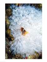 High angle view of a clown fish hiding in a sea anemone, Nananu-i-Ra island, Fiji Fine-Art Print