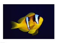 Close-up of a Clown Fish swimming Fine-Art Print