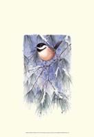 Chickadee in White Pine Fine-Art Print