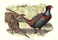 Pheasant Varieties I Fine-Art Print