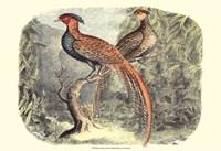 Pheasant Varieties II Fine-Art Print