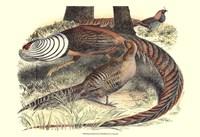 Pheasant Varieties III Fine-Art Print