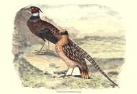 Pheasant Varieties IV Fine-Art Print