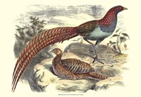 Pheasant Varieties VII Fine-Art Print