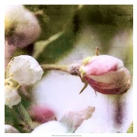 Apple Blossom Fine-Art Print