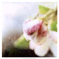 Apple Blossom II Fine-Art Print