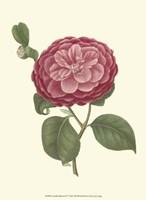 Camellia Blooms IV Fine-Art Print