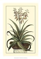 Antique Munting Aloe III Fine-Art Print