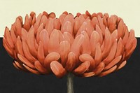 Apricot Flame II Fine-Art Print