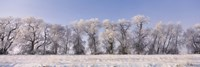 Cottonwood trees covered with snow, Lower Klamath Lake, Siskiyou County, California, USA Fine-Art Print