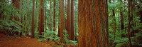 Redwoods tree in a forest, Whakarewarewa Forest, Rotorua, North Island, New Zealand Fine-Art Print
