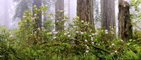 Rhododendron flowers in a forest, Del Norte Coast State Park, Redwood National Park, Humboldt County, California, USA Fine-Art Print