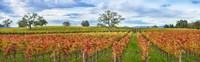 Autumn color vineyards, Guerneville Road, Sonoma County, California, USA Fine-Art Print