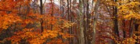 Autumn trees in Great Smoky Mountains National Park, North Carolina, USA Fine-Art Print